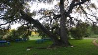 Nifty historical oak on the Latta Greenbelt