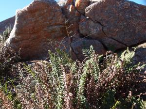 Giant granite boulder host communities of plants in their shade
