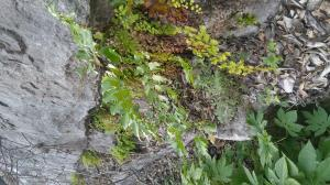 Lush ferns along a cool limestone bluff