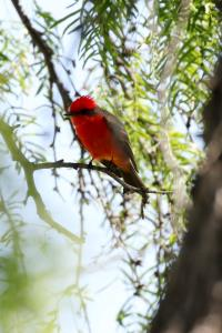 Vermillion Flycatcher Again