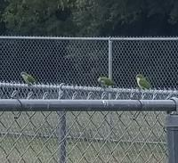 Feral parrots near the trailhead at the Camacho Activity Center