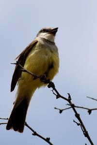 Watchful Kingbird
