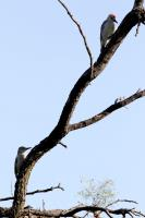 A Pair of Golden Fronted Woodpeckers