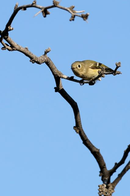 A Ruby Crowned Kinglet