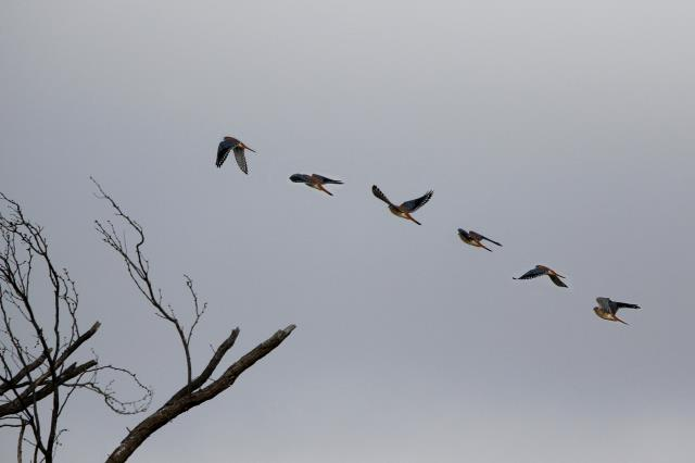 A Kestrel in Flight