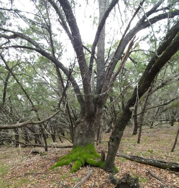 Nice, venerable, mossy iive oak