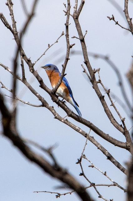 Eastern Bluebird  on Winding Snake Trail
