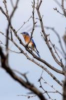 Eastern Bluebird  on Winding Snake Trail