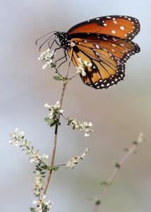 A Migrating Monarch