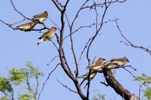 A small group of Cedar Waxwings.