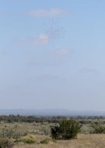 Migrating Gulls