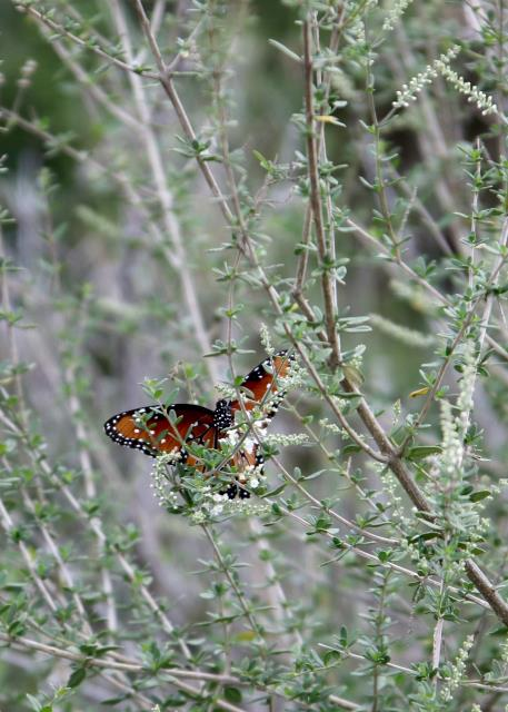 Butterfly at Bee Brush