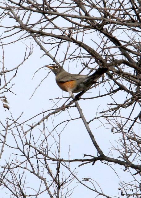 First Robin Spotted in a Few Years