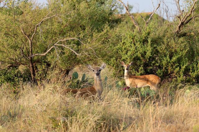 Axis Deer inside the park.