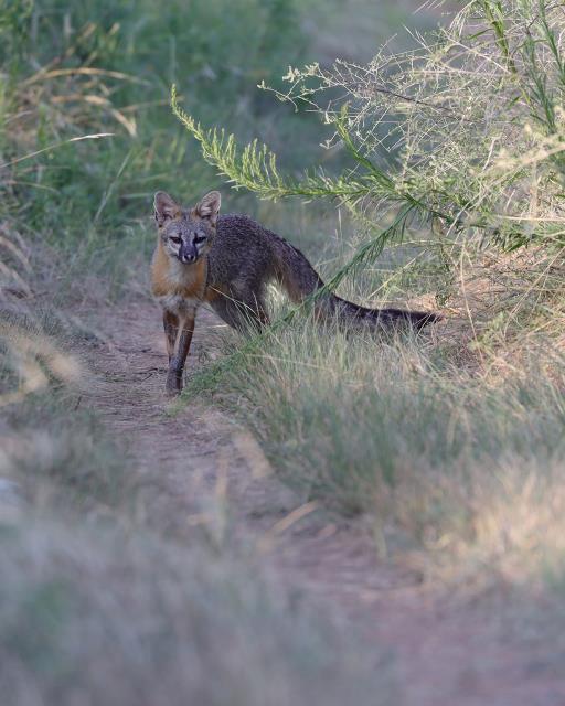 Fox on Potts