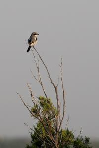 A Loggerhead Shrike