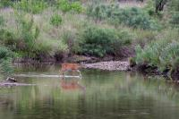Young Buck Crossing the River