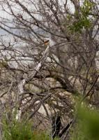 Year's First Scissortail Flycatcher