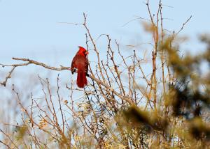 Lots of Cardinals seen today!
