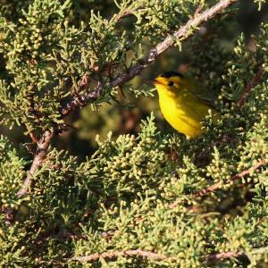 A Wilson's Warbler Just Passin' Thru