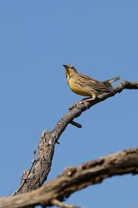 First Meadowlark of the Season.