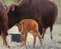One of Three New Bison Calves