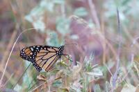 An Early Scout for the Annual Monarch Migration