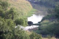 Feral Hog at the River