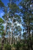 Massive Pine Trees