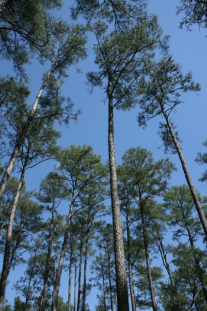 Majestic Pines