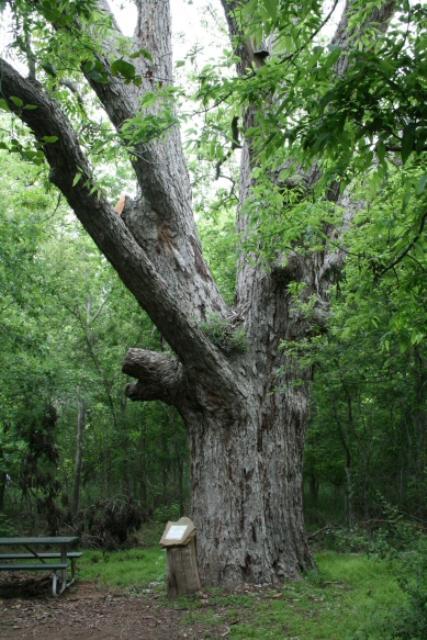 Massive Pecan Tree