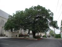 Church Oak