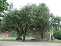 Kissing Oak