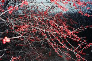 Red Berries On The Trail