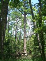 Cypress Tree Loop