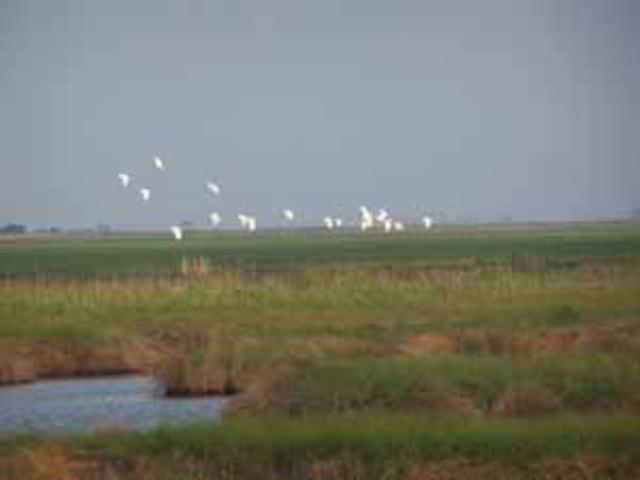 Flock of Egrets heading to roost