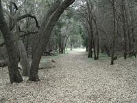 Many majestic oaks line the trail.