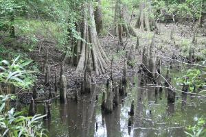 Bald Cypress Trees