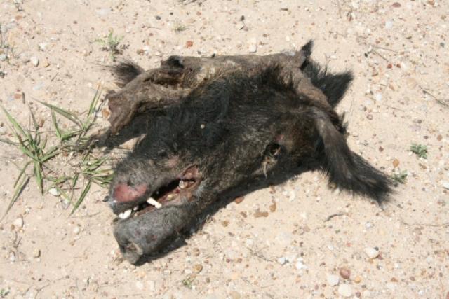 Dead Feral Pig