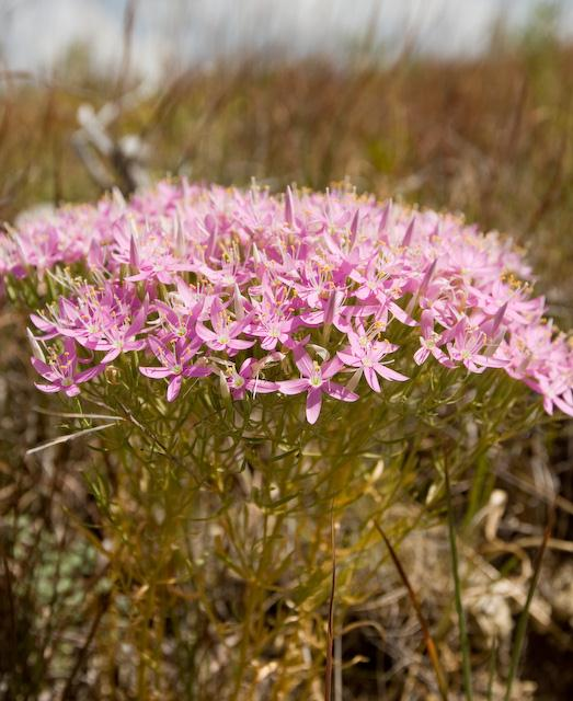 Pink flowers in Indiangrass area