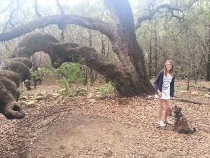 Majestic Oak.