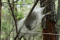 Massive Spider Webs