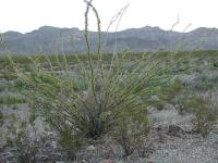 Desert plants, such as this Ocotillo, have adapted to the dry environment in unique ways.