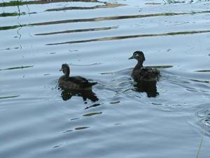 And More Ducks