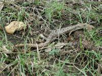 We saw deer prints in the park and this Texas Alligator Lizard.
