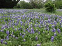 McKinney Falls plays host to lots of wildflowers in the spring.