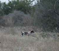 My shorthair Ringo pointing quail just off the trail