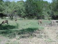 These deer were initially startled by our presense, but quickly returned to their foraging.