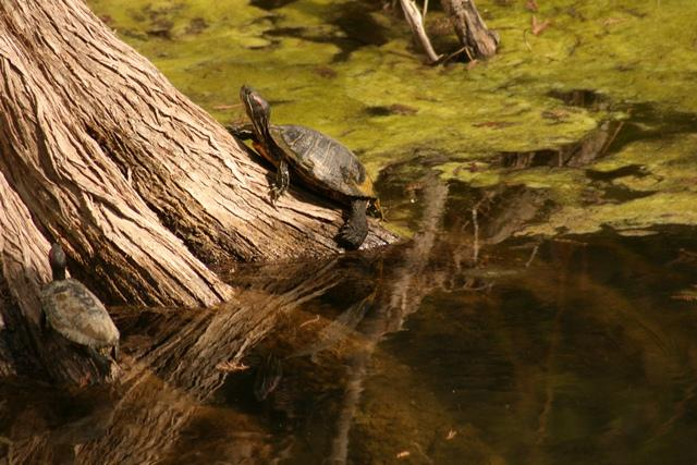 Turtle on Bald Cypress