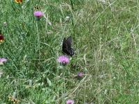 With all of the wildflowers around butterflies are sure to appear. This one works on some Thistle.